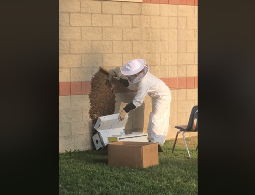 The view from our cafeteria window – our observation beehive